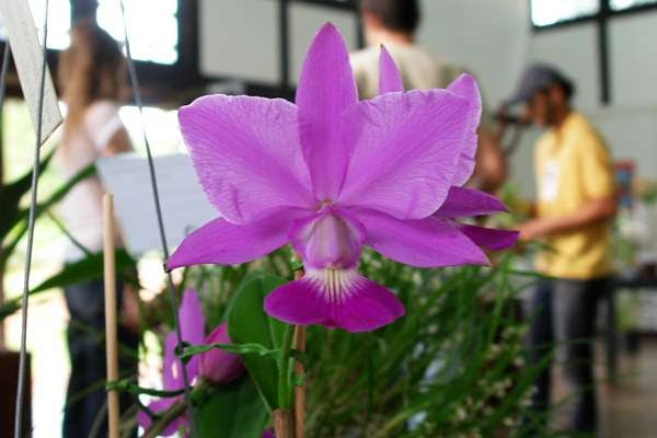 A orquídea nativa do cerrado, Cattleya Walkeriana, pode custar de R$ 30 a R$ 30 mil (Marianna Rios/CB/D.A Press)