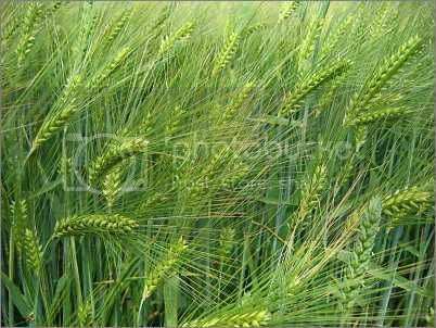 Barley Pictures, Images and Photos
