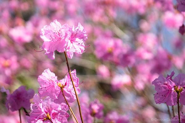 azalea in pink