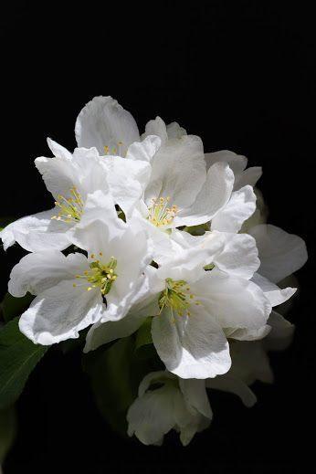 flowersgardenlove:  white Beautiful gorgeous pretty flowers
