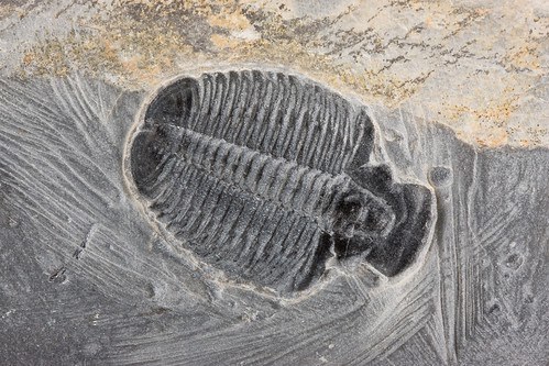 trilobites essay Another calender year of trilobite papers is almost complete here are another 16 papers i found after cross-referencing all of the published papers for 2.