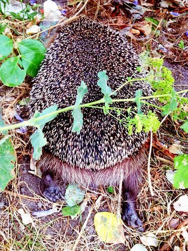 hedgehog heinie