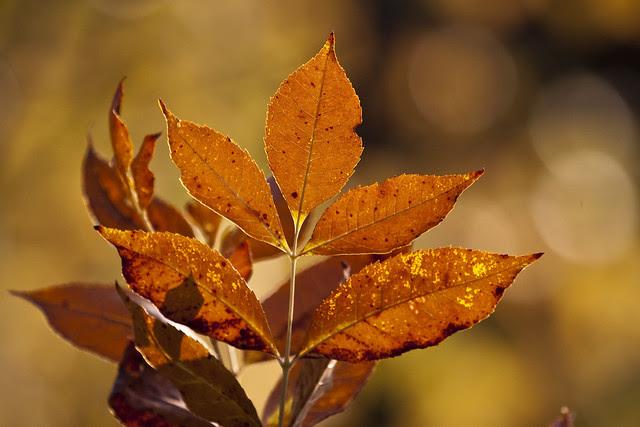 fiery elm leaves