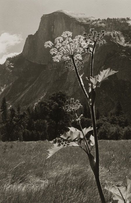 Untitled (Flowering Plant with Mountain Range), 1930s. Ansel Adams