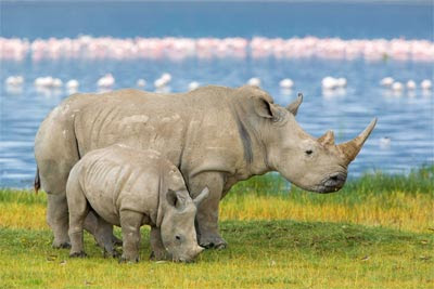 El kilogramo de cuerno de rinoceronte, especie en peligro de extinción, alcanza los 57.000 euros en el mercado negro.