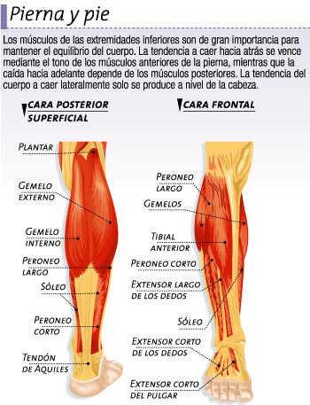 Músculos De La Pierna Y Del Pie Icarito