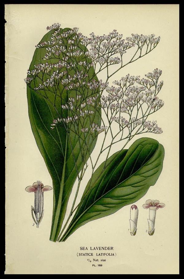 1896 Original Antique Botanical Print Sea Lavender