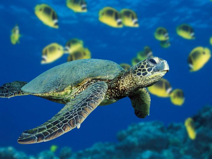 1366115945_green-sea-turtle (700x525, 334Kb)