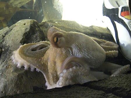 File:Oktopus-Orakel Paul mit Schuh.JPG
