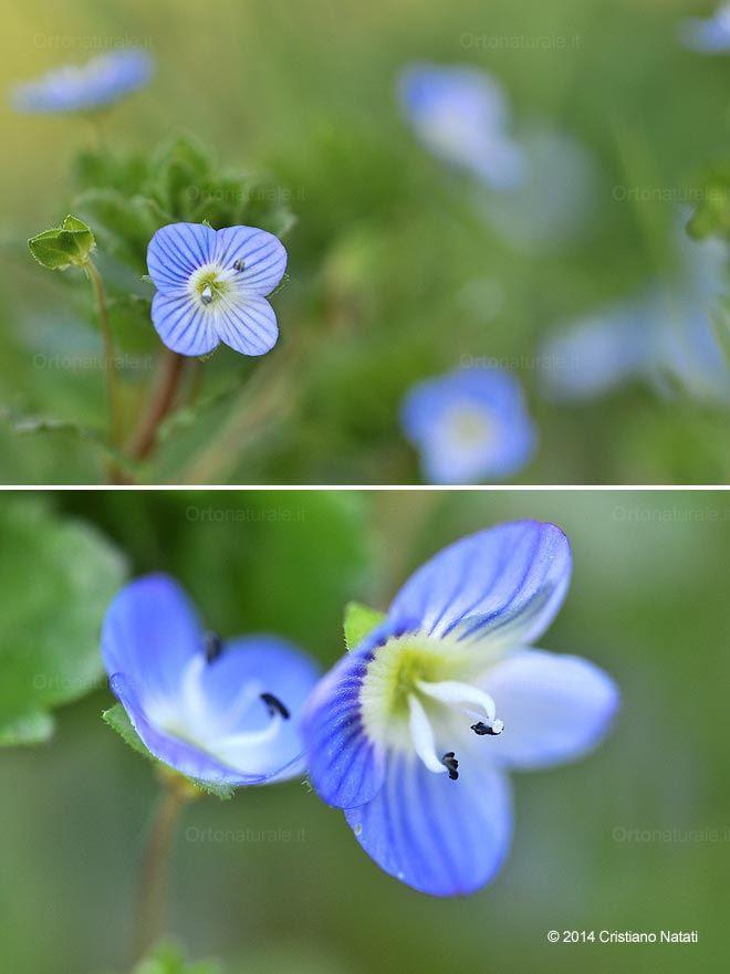 http://www.ortonaturale.it/images/blog/2014/primavera/fiori-veronica-comune-occhi-della-madonna.jpg