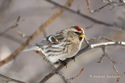 Common Redpolls (3 of 2).jpg