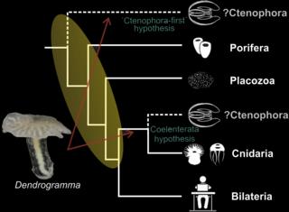 Posición filogenética de Dendrogramma según sus descubridores