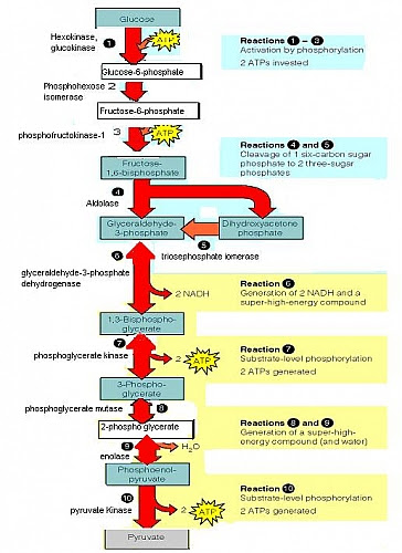 Glycolysis Pathway, Glycolysis Definition,Glycolysis Steps ...
