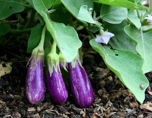 school garden eggplant