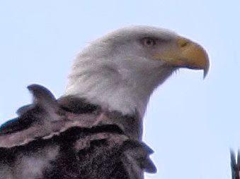 Bald Eagle male head COREL 20121221