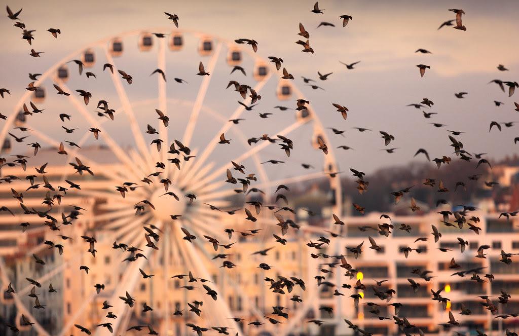 Starlings and Brighton Wheel