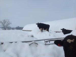 snow cows 2