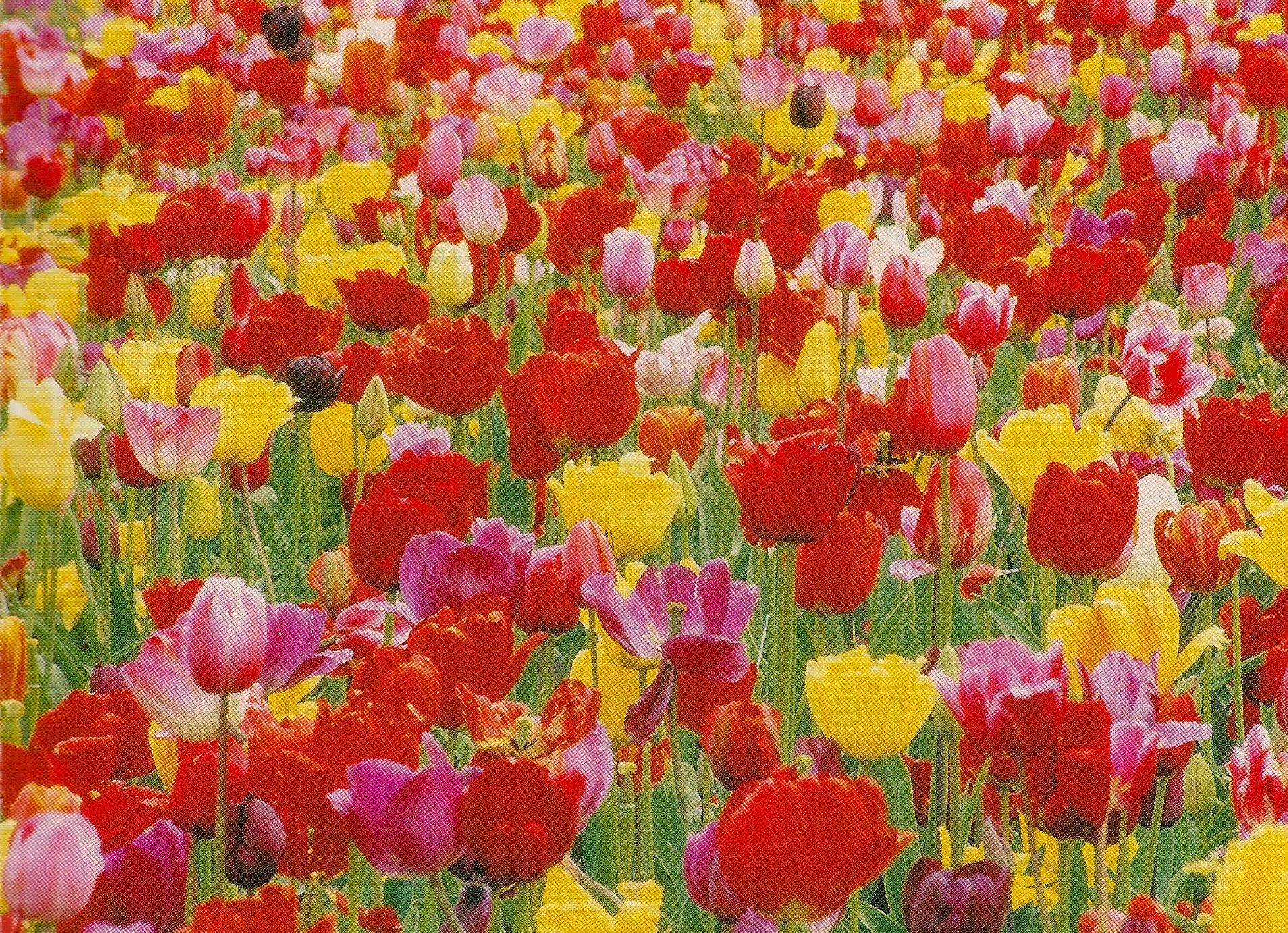 Tulip Postcard