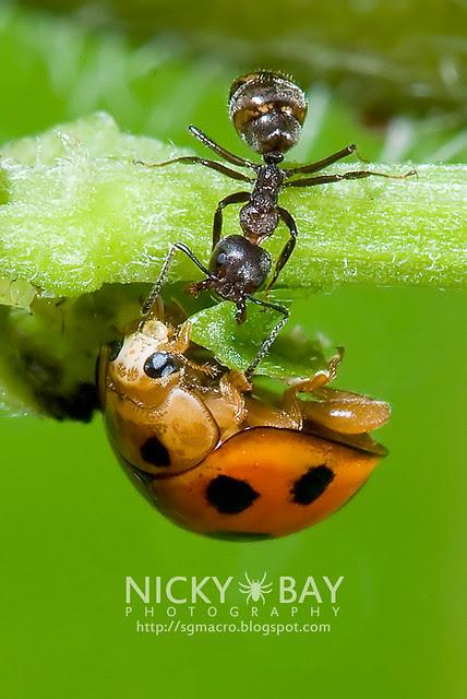 Ladybird (Coccinellidae) - DSC_7521