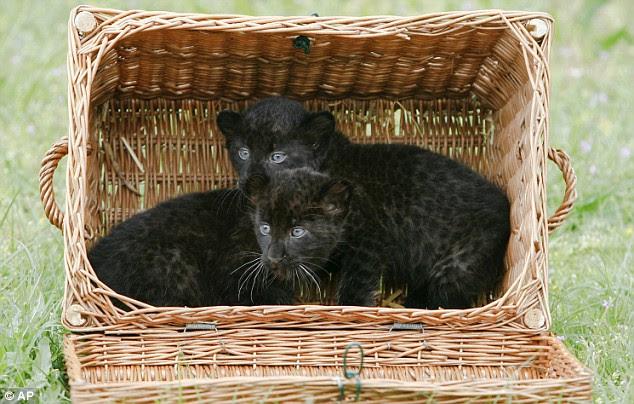 Черные пантерята в корзине. Фото