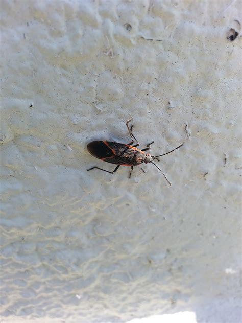 Boxelder Bugs in Utah   Extermiman Pest & Wildlife