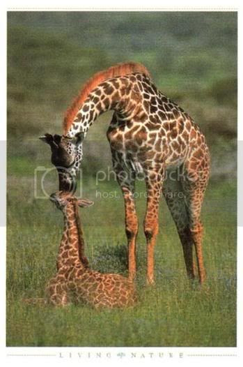 GiraffeMom&Baby Pictures, Images and Photos