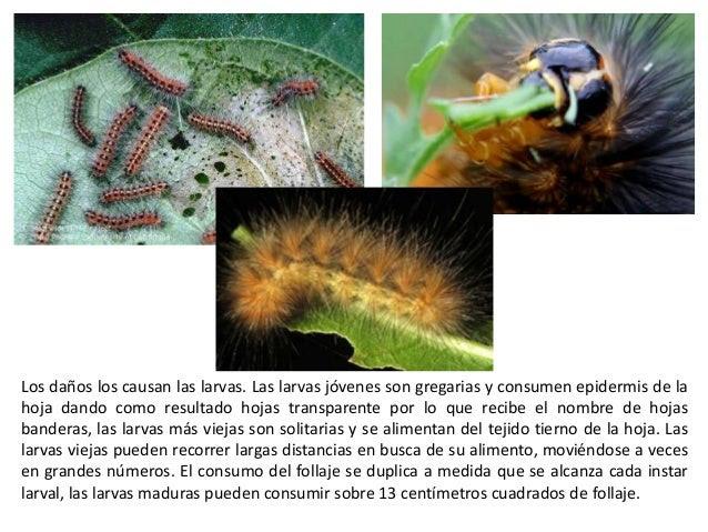 La duración del desarrollo larval es de 24 a 37 días, aunque hay reportes en donde seis instares presentaron desarrollo de...