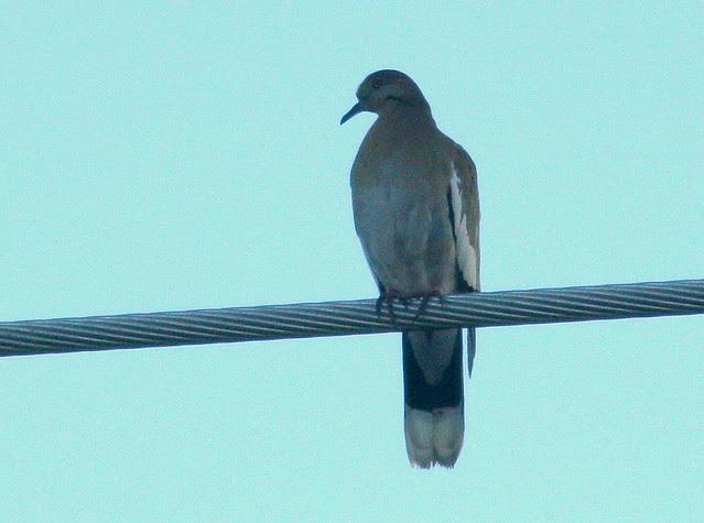 White-winged Dove 20101201