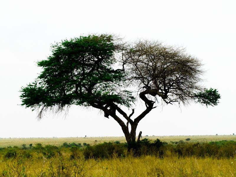 Split Living Dead Acacia Tree Nairobi National Park