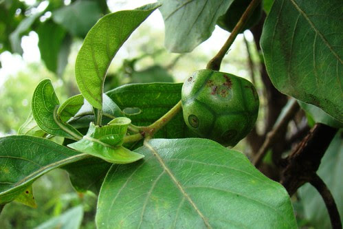 National Fruit Of India: Morinda Pubescens Common forest fruit at SGNP