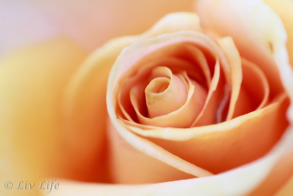 Rose Bud | Lensbaby Composer Pro with Macro Converter