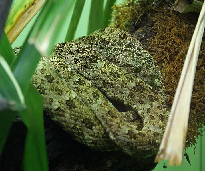 File:Bothriopsis taeniata (3).jpg