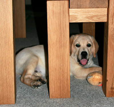 A growing puppy Cooper under the table