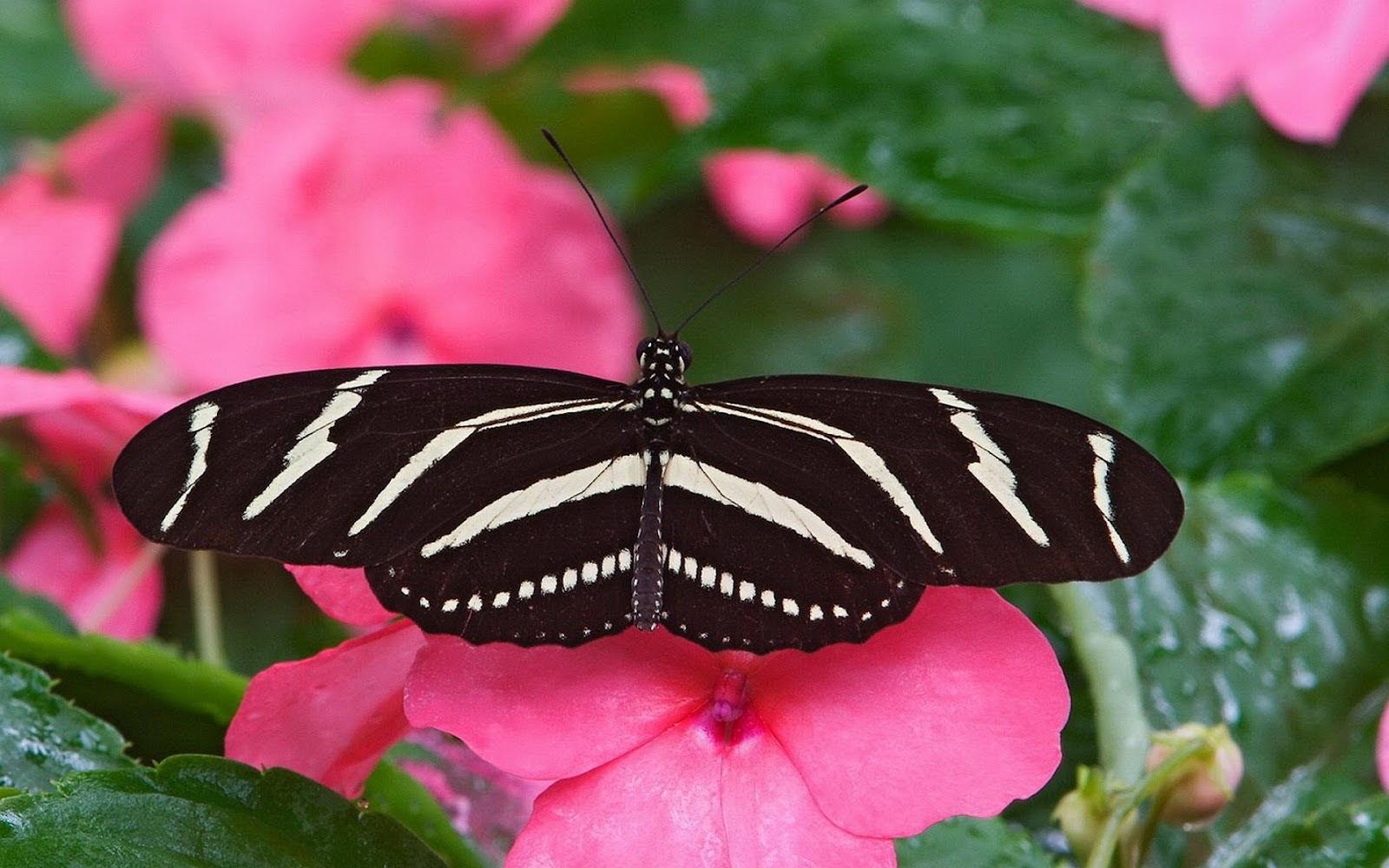Pink Butterfly Wallpaper Flower - WallpaperSafari