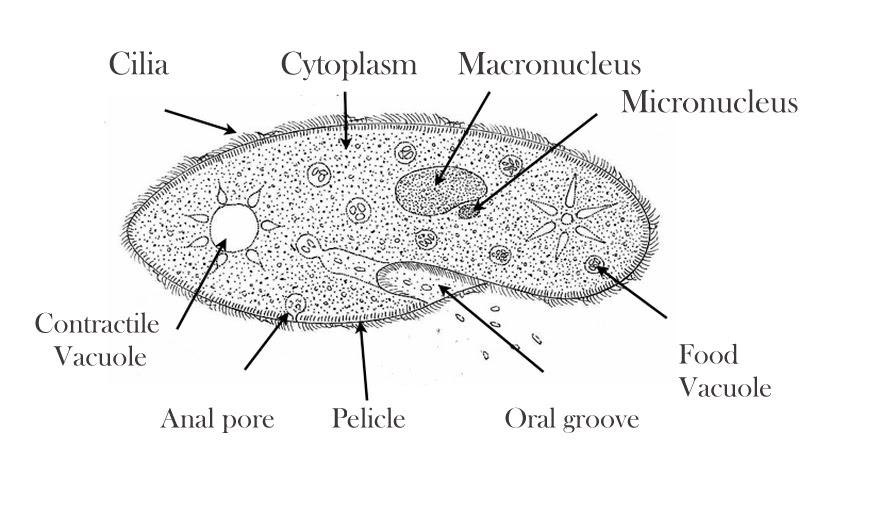 Paramecium Labelled 28cur8n