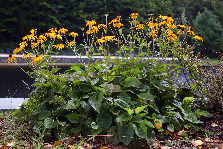 Medicinal Plants Black Eyed Susan