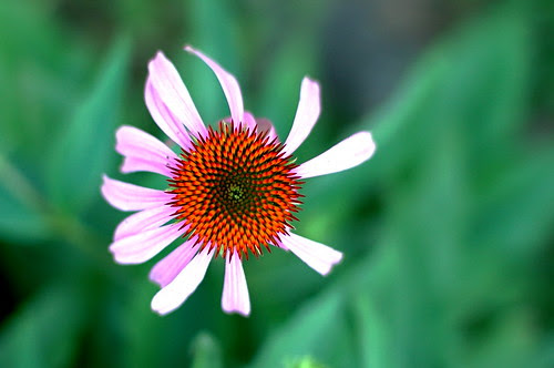 Coneflower - cropped