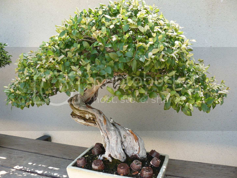 Bonsai Trees Wilmington Nc Bonsai Tree