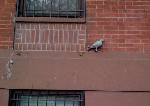 Not a pigeon