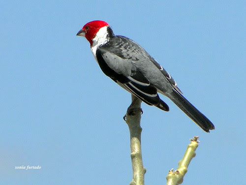 Terça-natureza (aves do Nordeste)