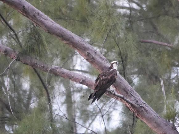 Ed Gaillard: birds &emdash; Osprey, New Providence, Bahamas