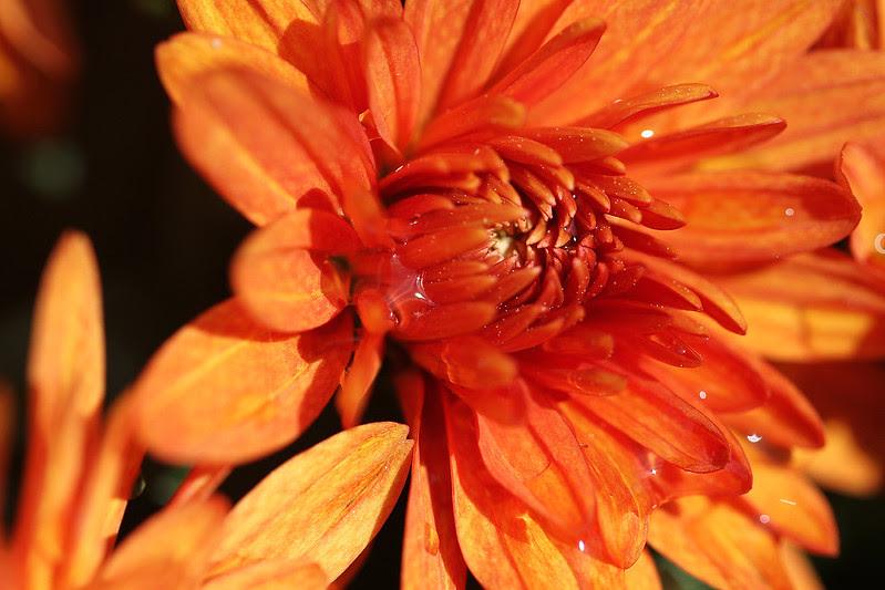 orange mum2
