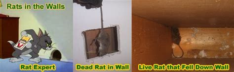 How to Remove and Get Rid of Rats in the Wall   Scratching Noises In the Walls