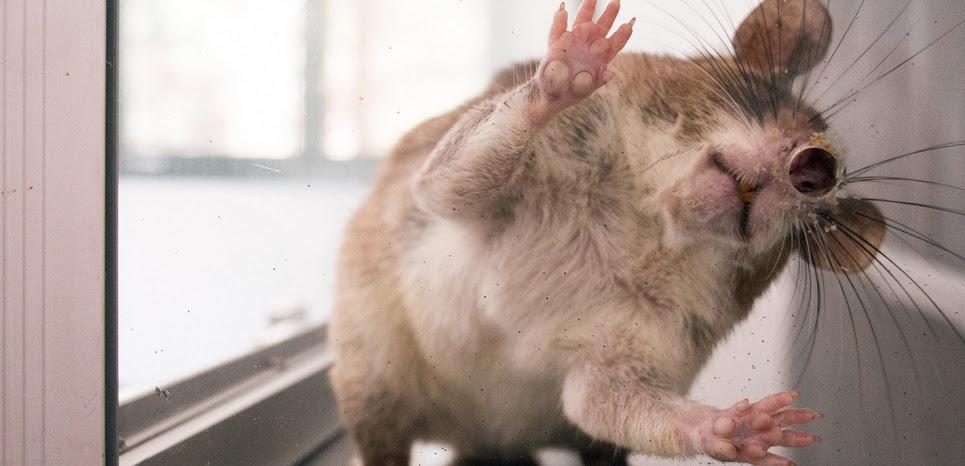 Des rats dépressifs guéris grâce à des parcs d'attraction