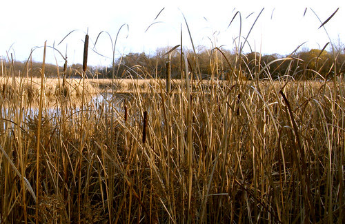 down in the cattails