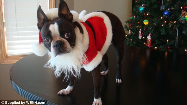 Father Christmas: Echo the pooch even has a Christmas themed outfit for the festive period