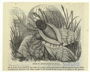 Second change of cicada. Digital ID: 806460. New York Public Library