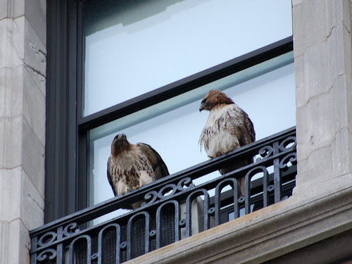 Two Hawks at St. Luke's