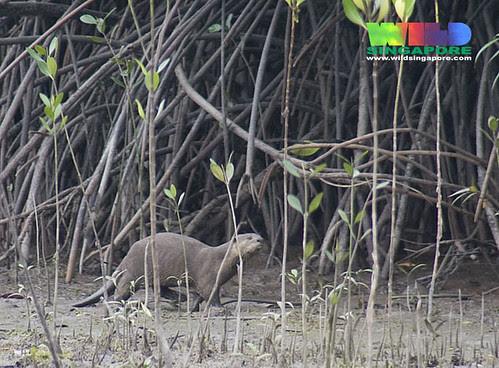 Smooth otter (Lutrogale perspicillata)