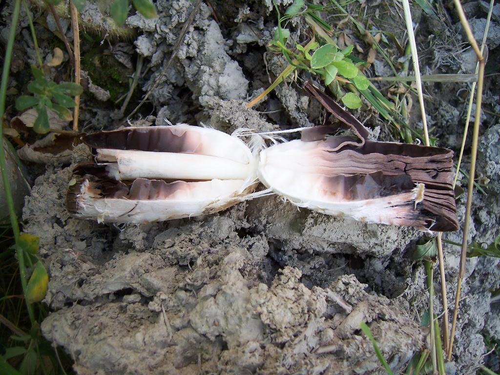 Champignon : coupe de coprin chevelu - coprinus comatus